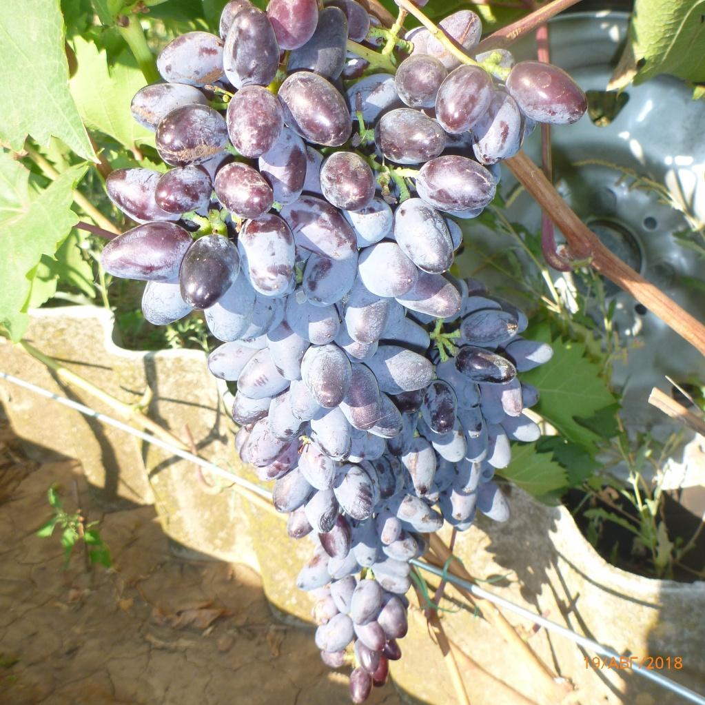 Виноград Одесский сувенир. Средне-поздний. Очень красиво смотрится