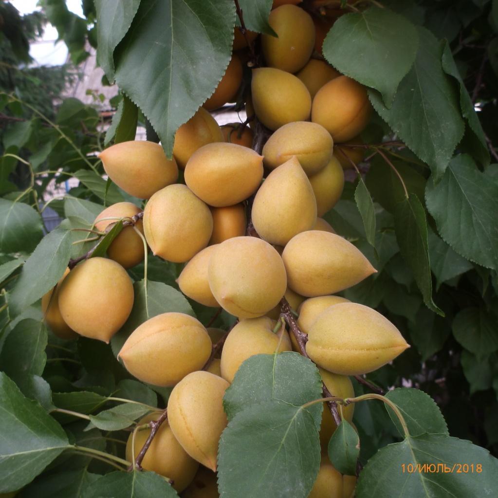 Абрикос Манитоба. Самые зрелые плоды начали падать с макушки дерева с конца июня. Основное созревание - в первой половине июля