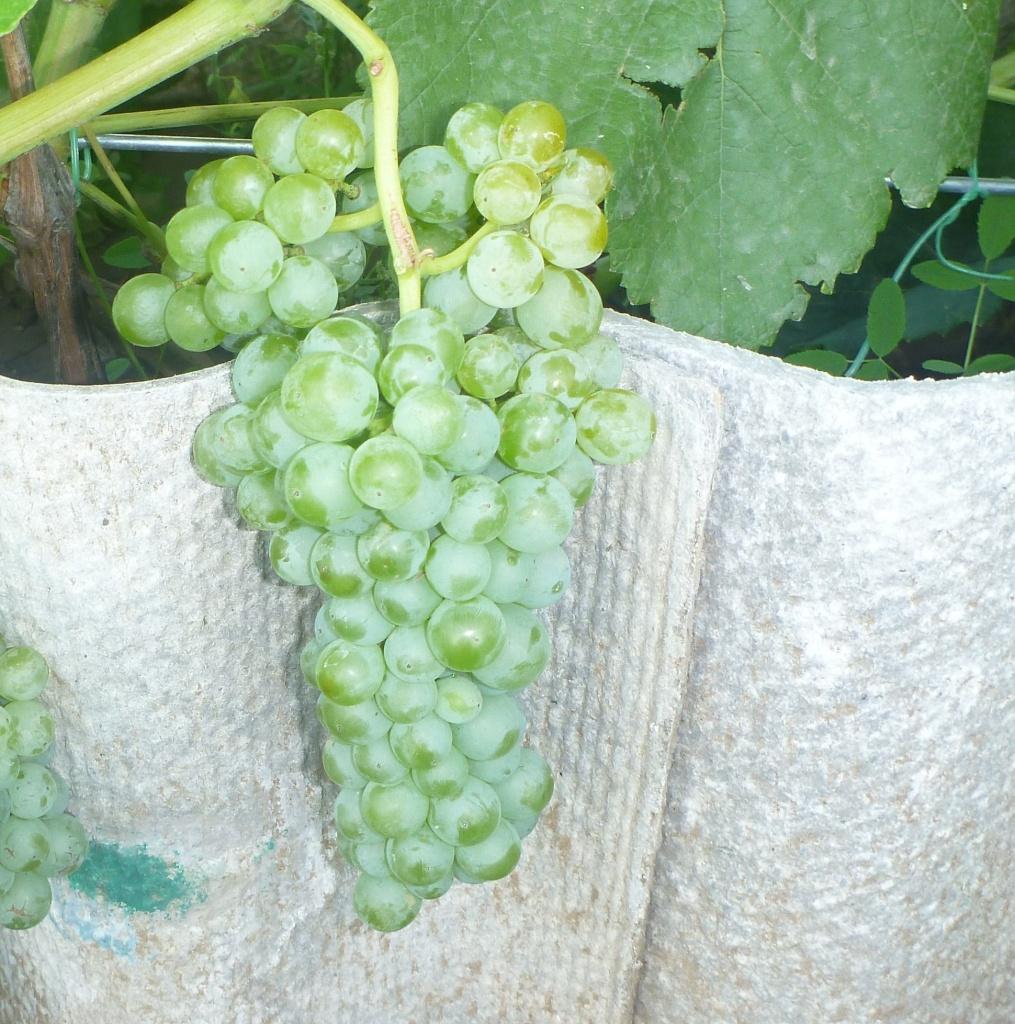 Виноград Ромулус. Кишмиш. Очень сладкий. С виду и не скажешь, что виноград зрелый и вкусный, поэтому коварный вор не обратит внимание. Половину гроздей 4 августа дети уже съели - очень сладкий.