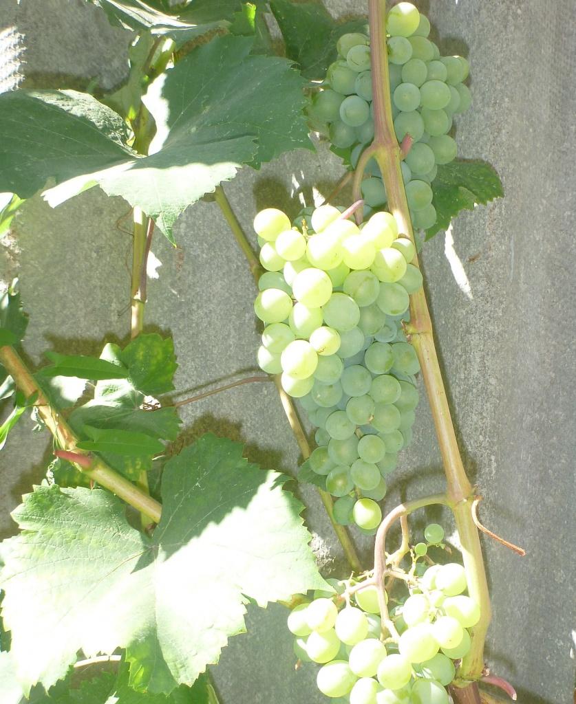 Ананасный, первые созревшие грозди. Это мой любимый технарь. Размножаю, хочу посадить еще несколько кустов