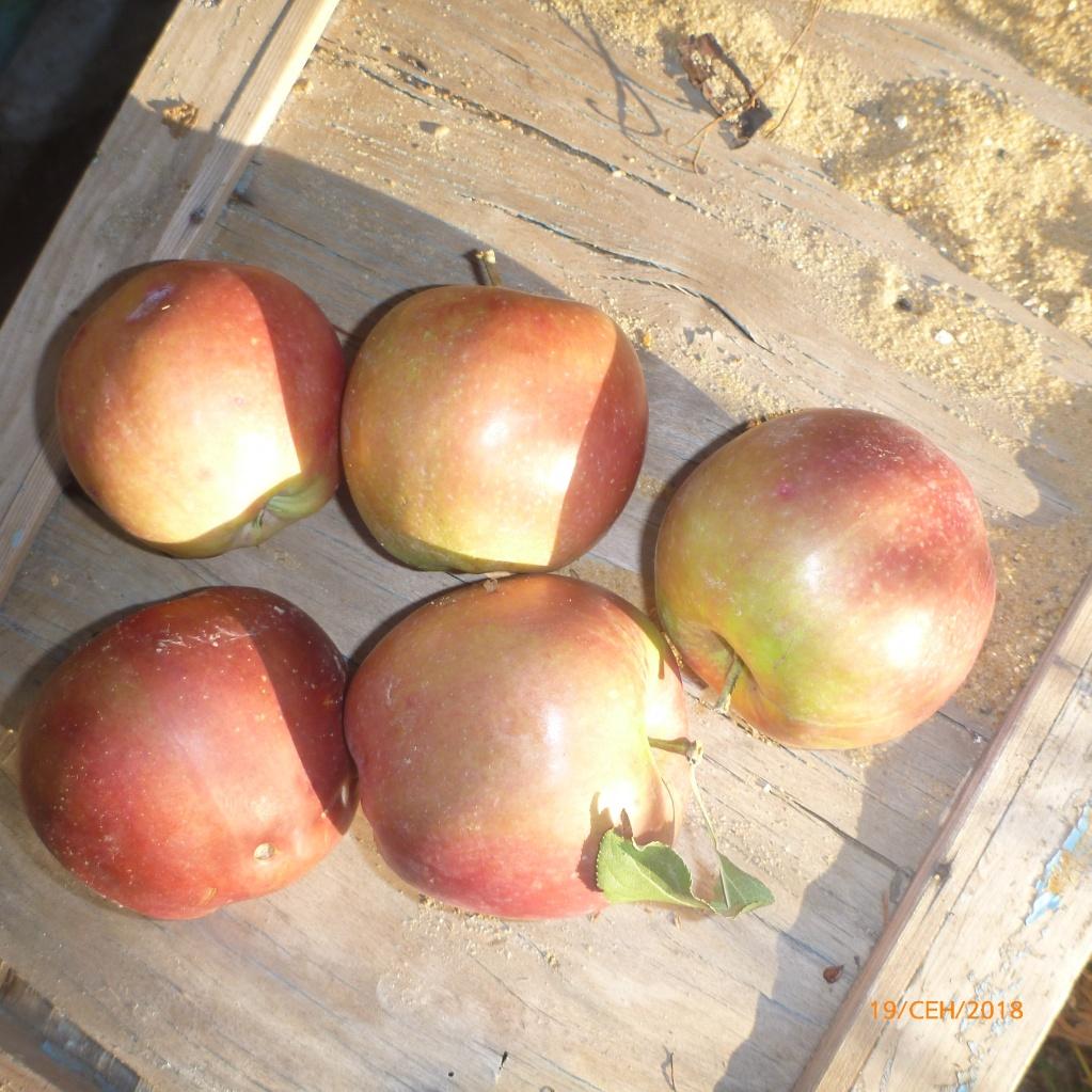 Наши яблоки сорта Лигол. Крупные вкусные яблоки. Сорт устойчивый к болезням и морозам.