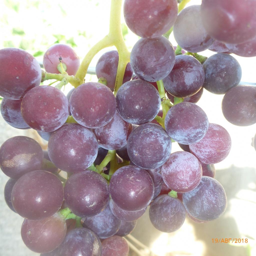 Виноград, Гурзуфский розовый