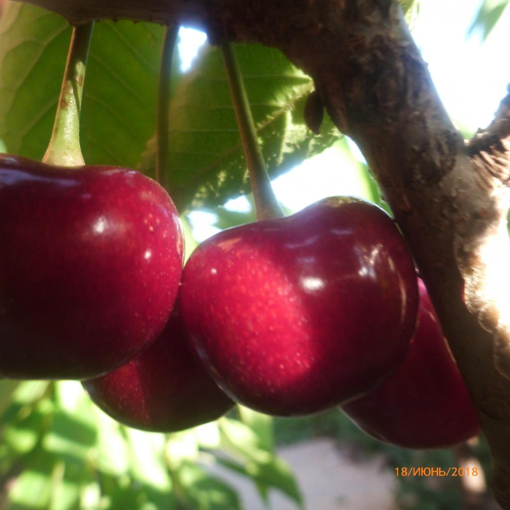 Черешня сорта Крупноплодная. Отличные крупные сладкие ягоды. На 18 июня еще не сняли, ждем, когда наберет побольше сладости. Висит, не портится, не осыпается. От воробьев охраняется двумя кошанами