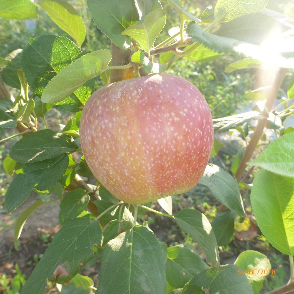 Яблоня Мелба. На этом дереве первый урожай.