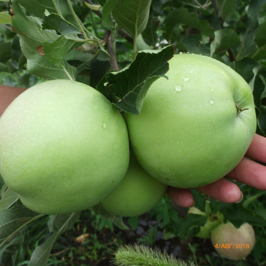 Яблоня Лигол. Наливается первый урожай