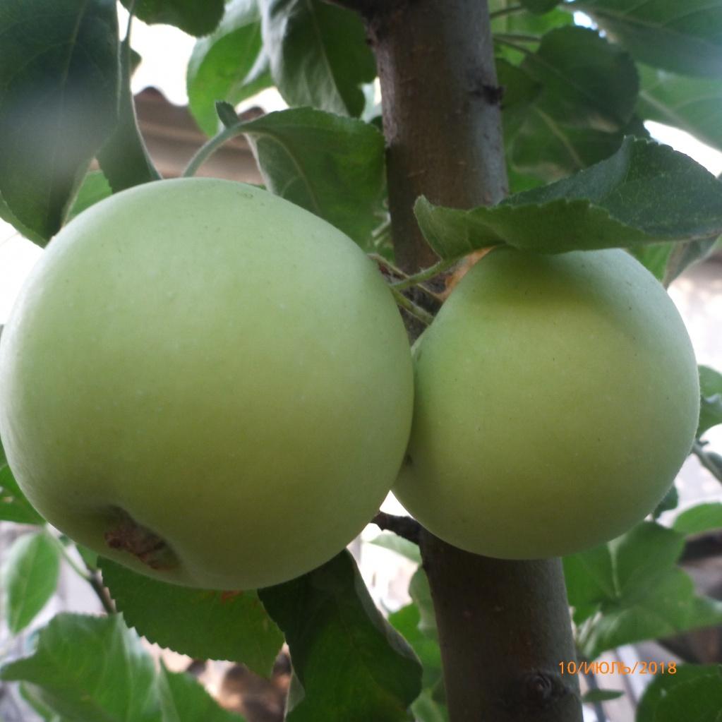 Яблоня. Сорт Весна. Последние яблочки. Первые сфотографировать забыли)))