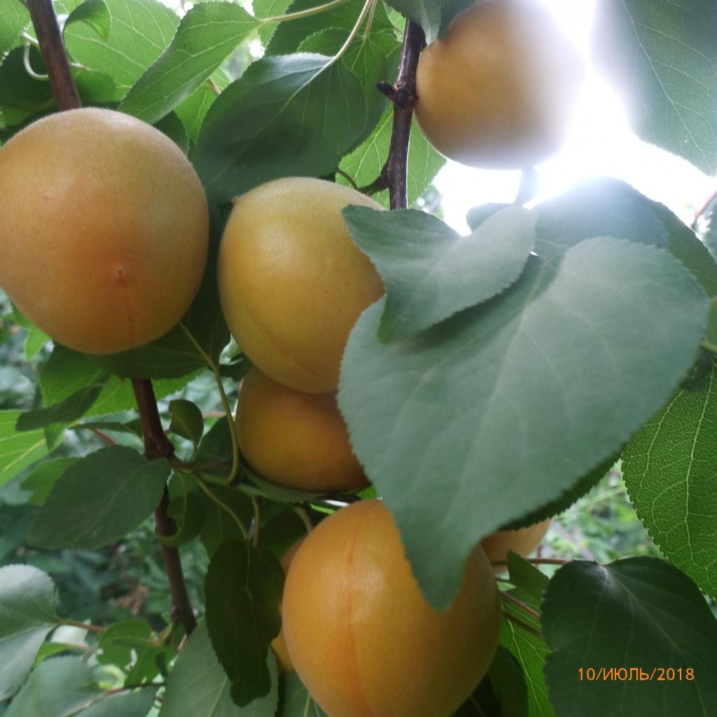Абрикос. Сорт ХЗЧ. Мой самый любимый - самый вкусный в саду!